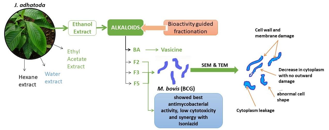 antimycobacterium phytomedicine